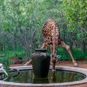 Giraffe at Shikwari pond